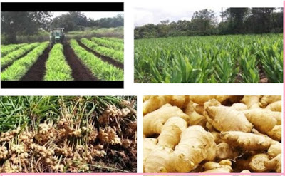 How & Where to Get Business information on Ginger Business in Nigeria