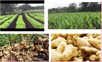 How you can be a Ginger farmers Rep in Nigeria