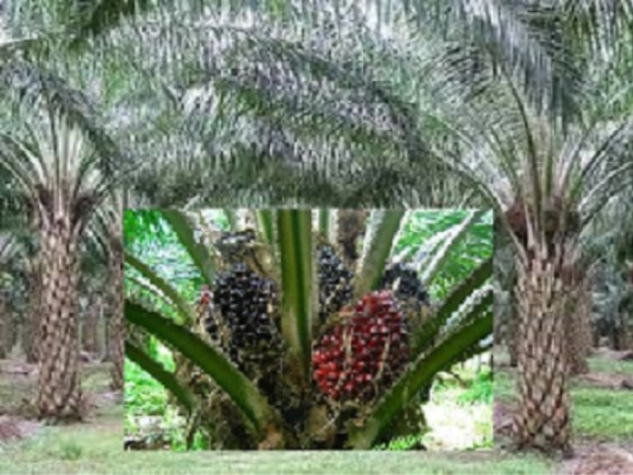 Oil Palm Plantation & Processing Business Plan Template