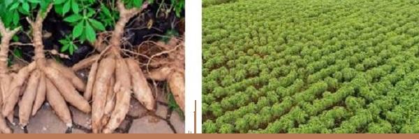 How to Enjoy Cassava Farming Business in Nigeria