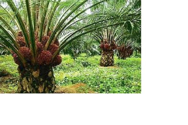 Palm Oil Production Business PLan Financial Analysis in Nigeria