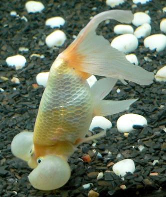 Api Pond Melafix Antibacterial Remedy For Koi Goldfish