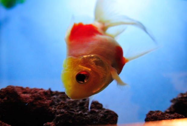 Goldfish Disease Symptoms 14 Early Signs That Your