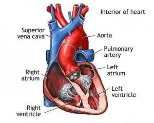 CTF-heart diagram.03b