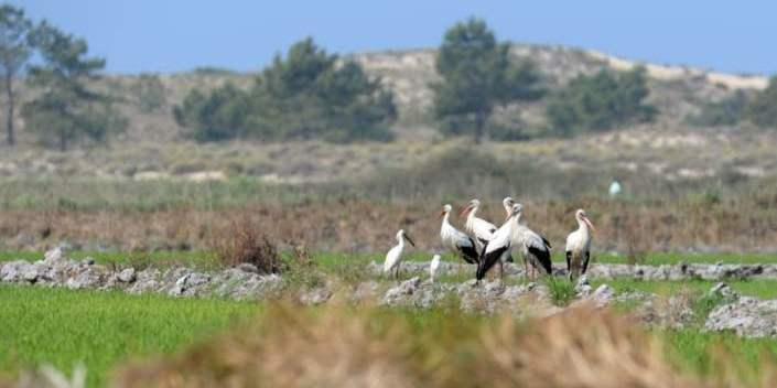 Storks in Brejos da Carregueira