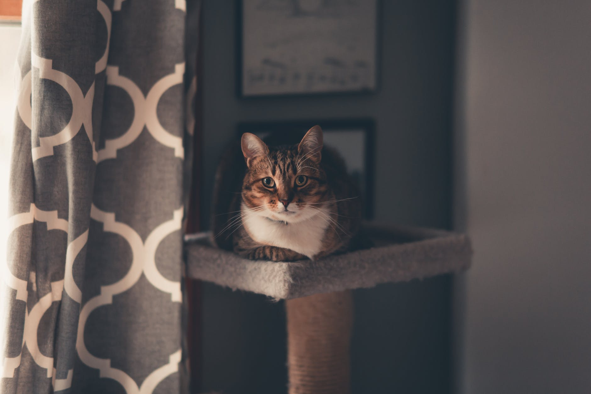 Un chat est couché sur un arbre à chat. Il observe, il est calme.