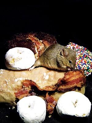 Roedor come bacon e donuts, mesmo após ter suas necessidades energéticas preenchidas (Foto: Image courtesy of Dakota Rose/Science)