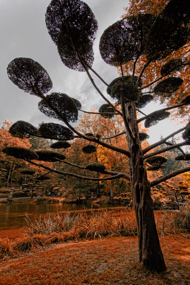 Japanese tree - Garden photography