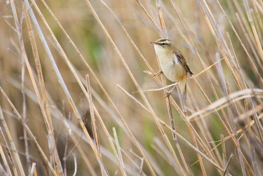 Willow warbler bird photography