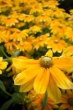 Prairie Sun Flowers