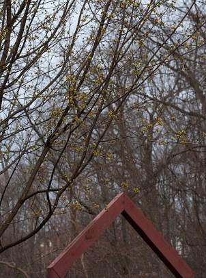 Cornus mas (native dogwood)