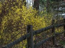 Forsythia along fence