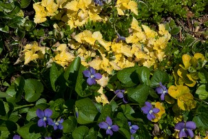 Violets and Golden Lamium