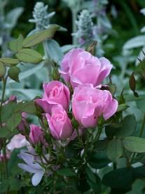 Rose Blushing Knockout