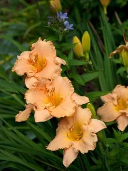 Elizabeth Salter daylily