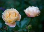 Rainbow shrub rose