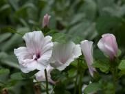 Lavatera Pink Blush