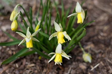 Daffodil Verdant Meadows