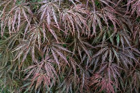 Weeping red Japanese maple