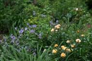 Rainbow Carpet rose and blue geraniums