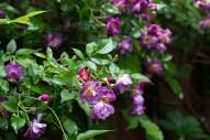 Veilchenblau (old climbing rose)