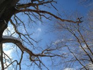 Oak and sky