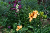Daylily 'Two Part Harmony'