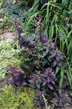 Purple sedums tumbling down the hillside