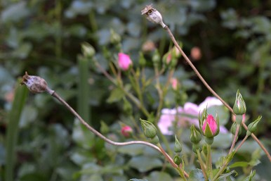 Rosebuds and poppy seed heads