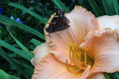 Skipper in daylily
