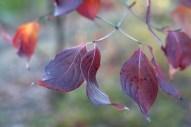 Kousa dogwood foliage