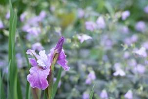 Siberian iris 'Strawberry Social'