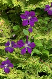 Clematis vit. 'Etoille Violette'