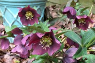 Hellebore 'Red Lady'