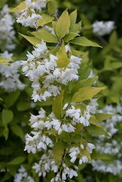 Deutzia 'Chardonnay Pearls' blossoms