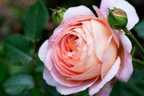 English rose 'Abraham Darby'