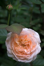 English Rose 'Ambridge Rose'