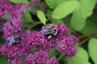 Bumblebees with pollen sacs on Spirea 'Goldflame'