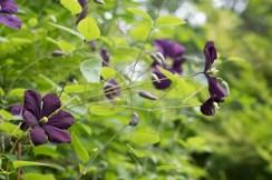 Clematis vitacella 'Etoille Violette'