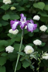 Japanese iris in front of 'Annabelle'
