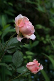 Unknown peach rose