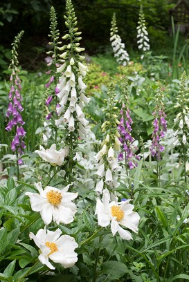 Peony 'Krinkled White' with foxgloves