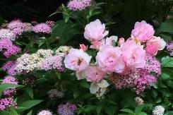 Rose 'Pink Carpet'