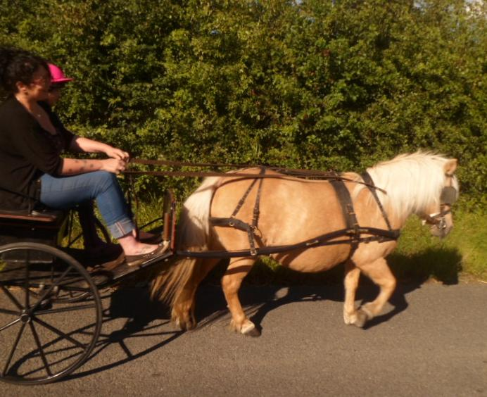 Five star forever home wanted for two experienced driving ponies. Palominos. Matching pair (4/5)