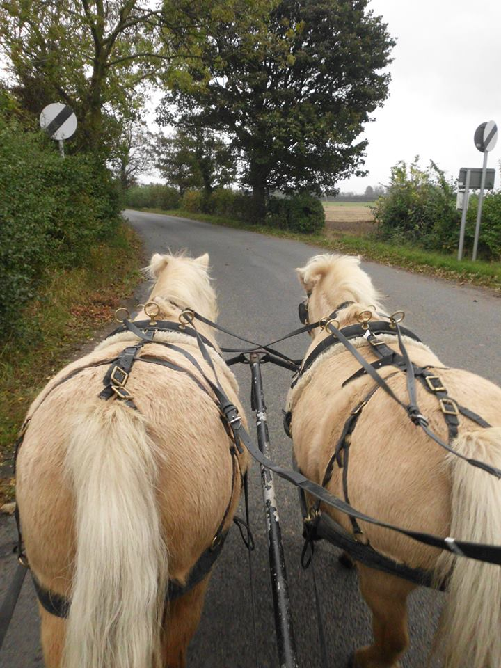 Five star forever home wanted for two experienced driving ponies. Palominos. Matching pair (1/5)