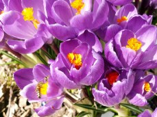 First color in the spring (crocus)