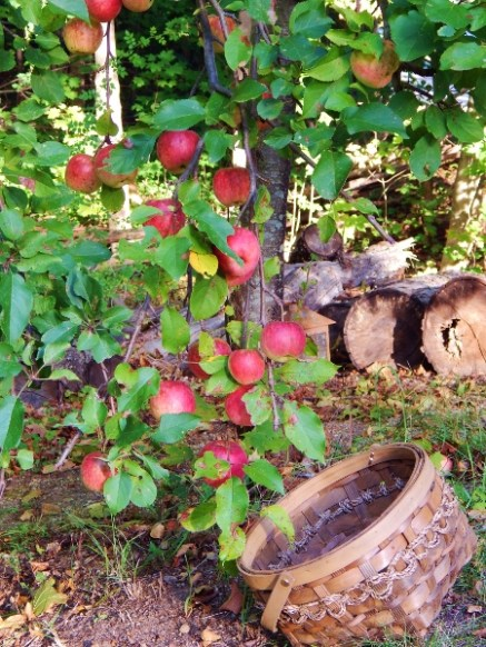 branches heavy with apples