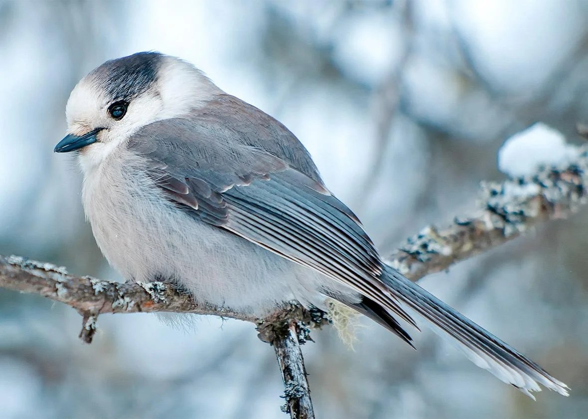 Canada S Gray Jay Is A Great National Bird