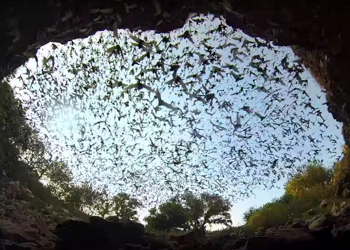 Watch An Amazing Bat Exodus At Bracken Cave Video
