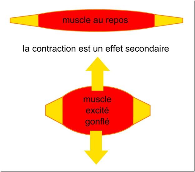 contraction du muscle